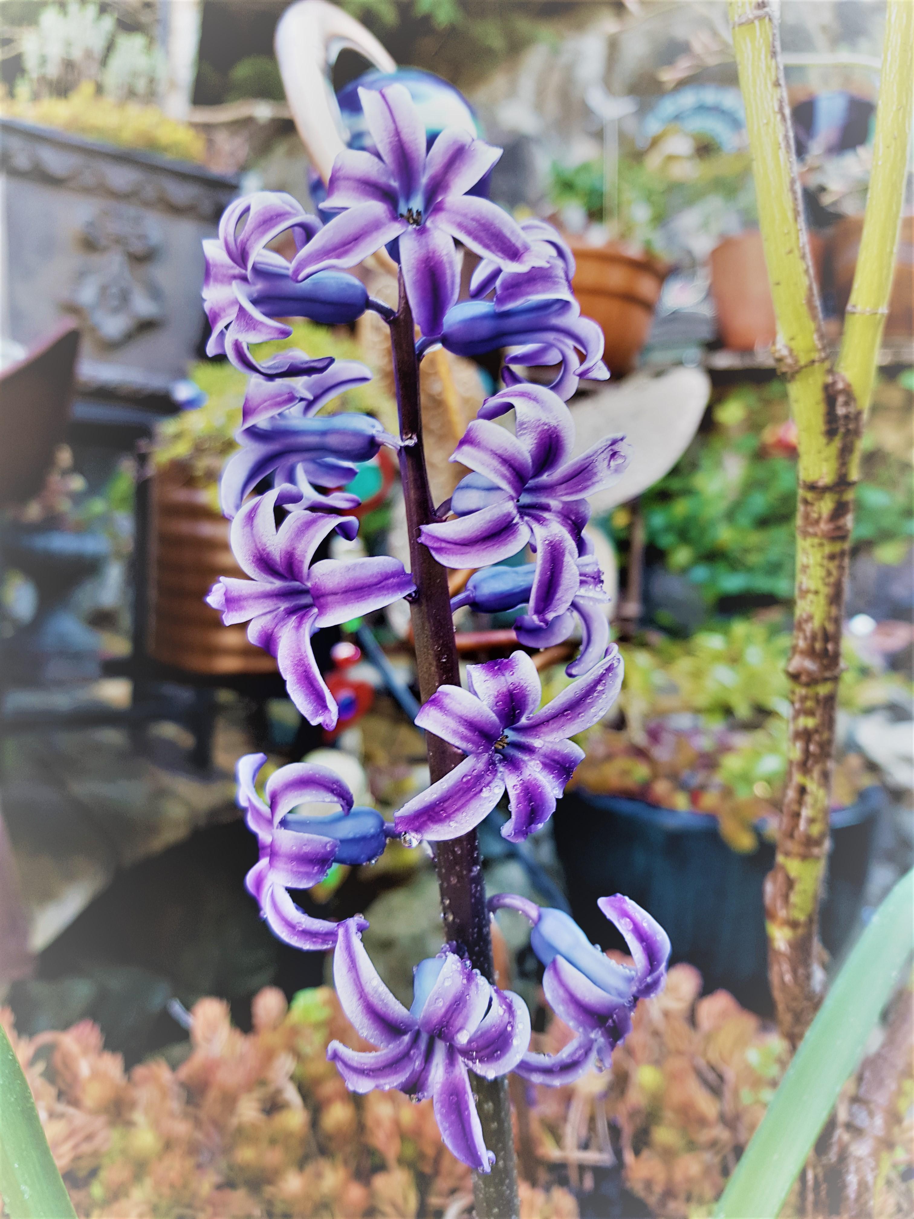 Hyacinth 2020