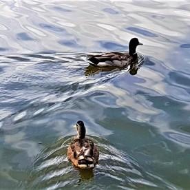 Lost Lagoon Ducks
